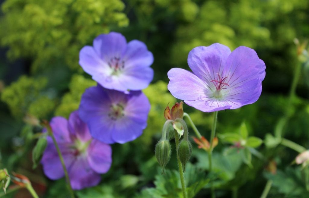 Top 10 everlasting perennials living colour gardens it is a vigorously spreading perennial with violet blue flowers with a long flowering period between early summer to late autumn mightylinksfo