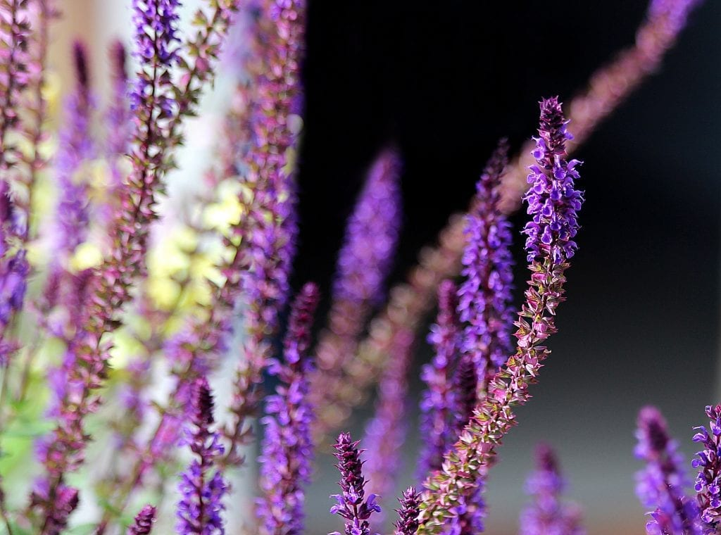 Top 10 Everlasting Perennials Living Colour Gardens